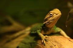 бородатый дракон стоковое изображение