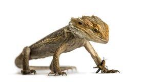 Бородатый изолированные дракон и сверчок, Стоковое Изображение