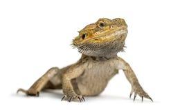 Бородатый изолированный дракон, Стоковое Фото