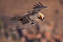 бородатый хищник летания Стоковое фото RF