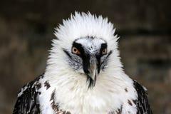 Бородатый хищник Стоковая Фотография RF