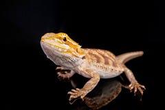 бородатый черный дракон Стоковое фото RF