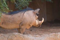 Бородавочник (Phacochoerus africanus) Royalty Free Stock Image