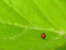 Бородавчатое яичко жука лист Стоковые Изображения