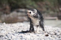 Бородатая Коллиа тряся с воды Стоковое Изображение RF
