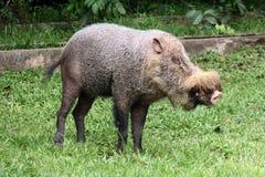 бородатая свинья Стоковые Изображения RF