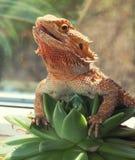 Бородатая ящерица агамы с открытым намордником Стоковые Изображения