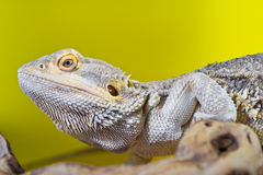 Бородатая ящерица гада дракона на ветви на желтой предпосылке Стоковая Фотография