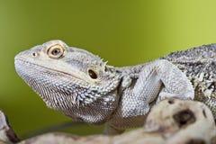 Бородатая ящерица гада дракона на ветви на зеленом цвете запачкала backg Стоковые Изображения