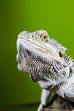 Бородатая ящерица гада дракона на ветви на зеленом цвете запачкала backg Стоковая Фотография