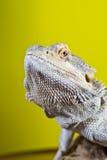 Бородатая ящерица на ветви Стоковая Фотография RF