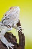 Бородатая ящерица на ветви Стоковые Фотографии RF