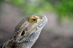 Бородатая ящерица дракона Стоковое Изображение