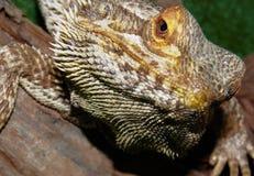 бородатая ящерица дракона Стоковая Фотография