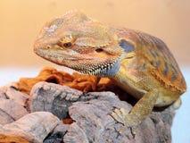 бородатая ящерица дракона Стоковые Фото