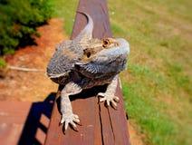 бородатая ящерица дракона Стоковые Фотографии RF
