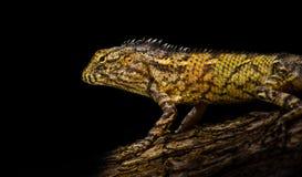 бородатая ящерица дракона Стоковые Изображения RF
