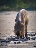 бородатая bornean свинья Стоковые Изображения RF