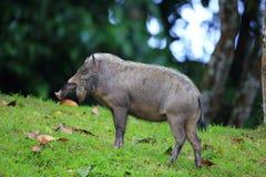 бородатая bornean свинья Стоковые Изображения