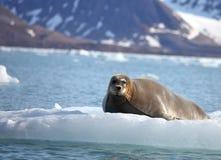 Бородатое уплотнение на быстром льде Стоковые Фотографии RF