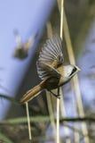 Бородатое reedling biarmicus Panurus подготавливая для полета Стоковая Фотография RF