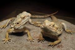 Бородатые драконы Стоковое Изображение
