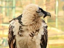 Бородатые хищник, или lammergeier Стоковые Фотографии RF