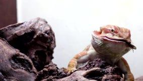 Бородатые vitticeps дракона или pogona акции видеоматериалы