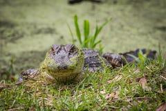 Бородатый аллигатор Стоковые Изображения
