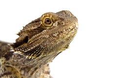 бородатый изолированный дракон Стоковое фото RF