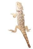Бородатый изолированный дракон, белый Стоковое фото RF