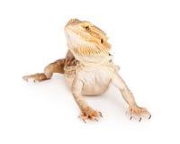 Бородатый изолированный дракон Стоковые Фотографии RF