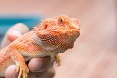Бородатый дракон в наличии Стоковые Изображения