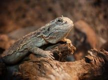 Бородатый дракон в terrarium Стоковая Фотография