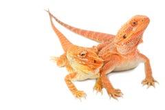 Бородатый дракон 2 Стоковые Изображения RF