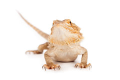 Бородатый дракон Стоковое фото RF