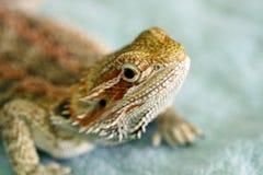 бородатый дракон Стоковые Изображения RF