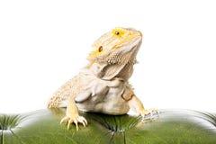 бородатый дракон Стоковые Фото