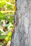 Бородатый дракон, Pogona, гады, ящерица Стоковые Изображения RF