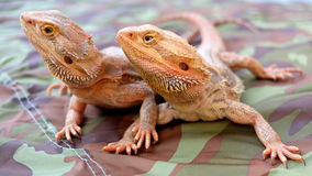 Бородатый дракон/Pogona Стоковые Фото