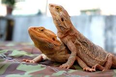 Бородатый дракон/Pogona Стоковая Фотография RF