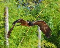 Бородатый хищник который летает Стоковые Изображения