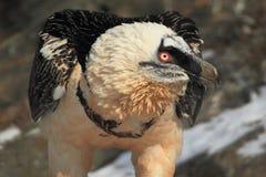 Бородатый хищник Стоковые Фотографии RF