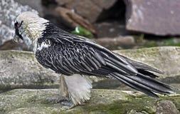 Бородатый хищник Стоковое Фото