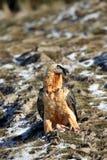 бородатый хищник Стоковая Фотография