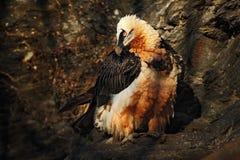 Бородатый хищник, barbatus Gypaetus, в каменной среде обитания, Испания Стоковые Фото