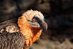 Бородатый хищник, barbatus Gypaetus, портрет детали редкой птицы горы, в каменной среде обитания, Испания Стоковая Фотография