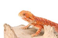 Бородатый дракон на ветви Стоковое Изображение