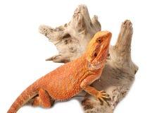 Бородатый дракон на ветви Стоковые Изображения RF
