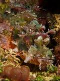 Бородатый Scorpionfish Стоковая Фотография
